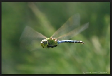 dragonfly1